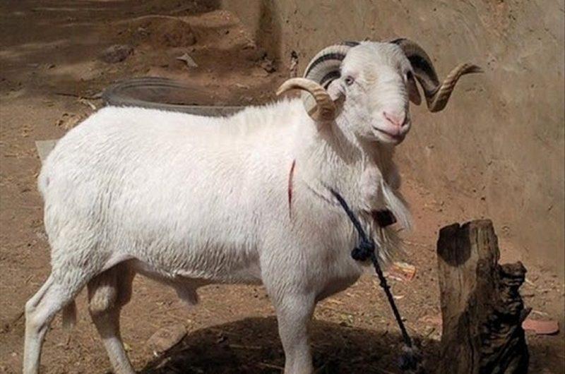 Togo: un voleur de mouton brûlé vif à Djagblé.