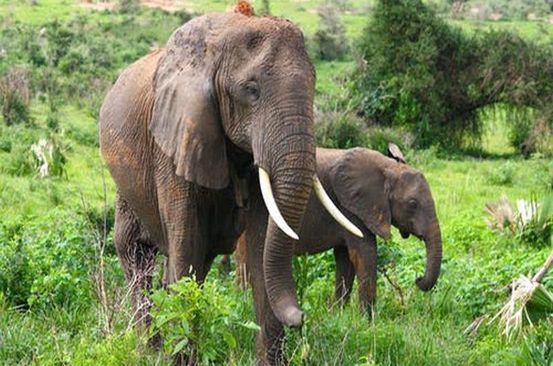 Togo: un troupeau d'éléphants tue un officier dans la région Centrale.