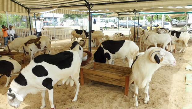 Togo : Un nouveau marché de bétails vient de naitre