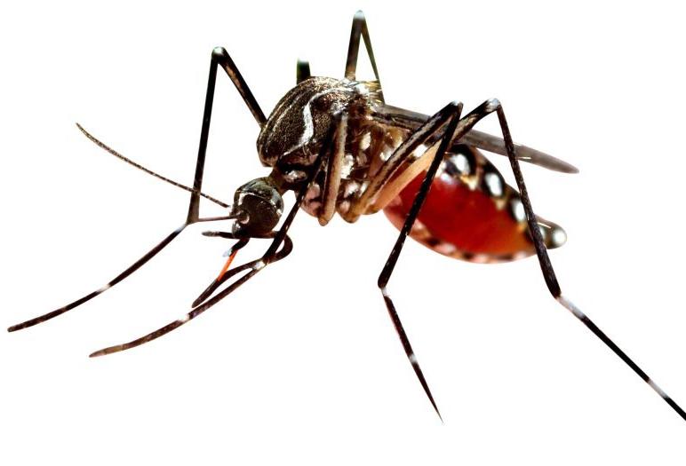 Des cas de la maladie dite «Dengue» détectés à Lomé