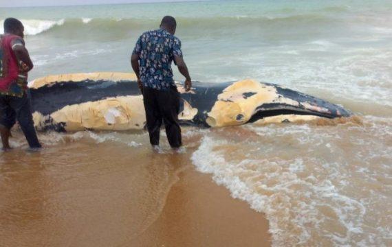 Une baleine s'échoue sur la plage d'Aného, les populations en font leur nourriture