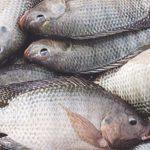 Au Togo, l'importation de tilapia est interdite jusqu'à nouvel ordre