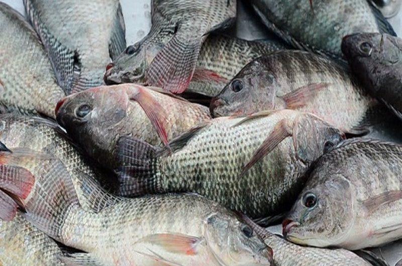 Le Togo interdit l'importation illicite du tilapia.