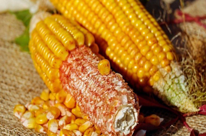 La culture du maïs occupe 1,5 millions de personnes au Togo.