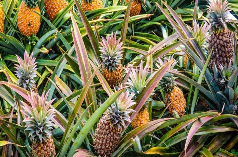 La vente d'ananas a rapporté 1,5 milliard de FCFA au Togo en 2018.