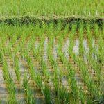 Togo/Agriculture: la Chine veut accompagner les riziculteurs togolais.