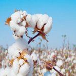 Togo: l'exportation du coton en 2019 estimée à 63 milliards FCFA.