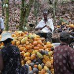 Le Togo enregistre une hausse des exportations de cacao pour la nouvelle campagne.