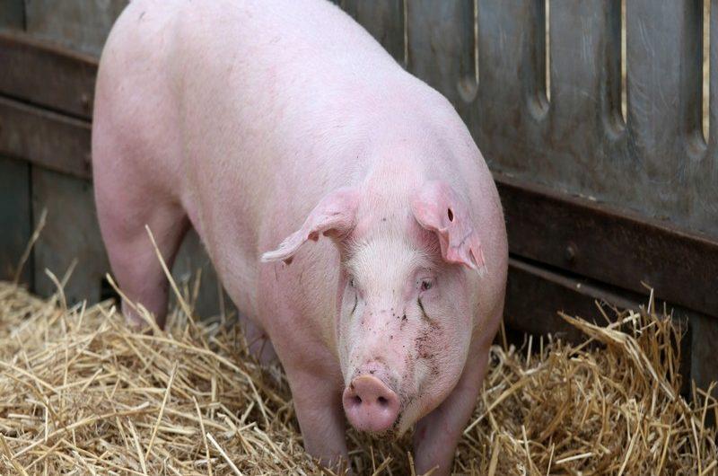 Togo/Peste porcine: abattage et destruction des élevages dans la région des Savanes.